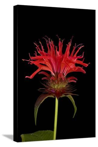 A Bee Balm Plant, Monarda Didyma-Joel Sartore-Stretched Canvas Print