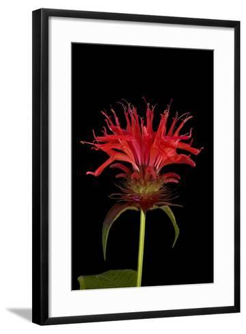 A Bee Balm Plant, Monarda Didyma-Joel Sartore-Framed Art Print