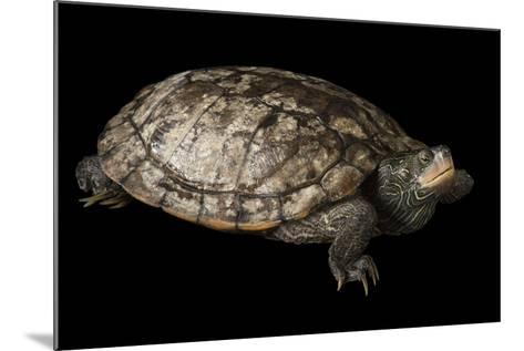 A False Map Turtle, Graptemys Pseudogeographica-Joel Sartore-Mounted Photographic Print
