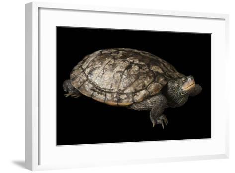 A False Map Turtle, Graptemys Pseudogeographica-Joel Sartore-Framed Art Print