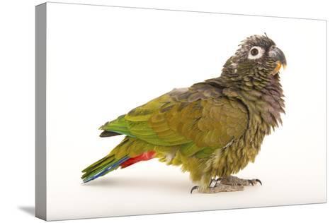 A Scaly-Headed Parrot, Pionus Maximiliani, at Omaha's Henry Doorly Zoo and Aquarium-Joel Sartore-Stretched Canvas Print