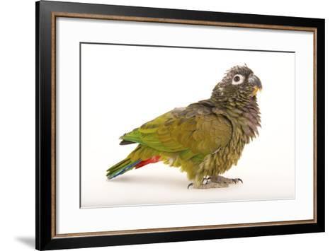 A Scaly-Headed Parrot, Pionus Maximiliani, at Omaha's Henry Doorly Zoo and Aquarium-Joel Sartore-Framed Art Print