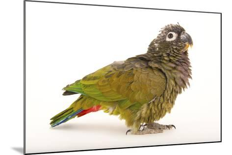A Scaly-Headed Parrot, Pionus Maximiliani, at Omaha's Henry Doorly Zoo and Aquarium-Joel Sartore-Mounted Photographic Print