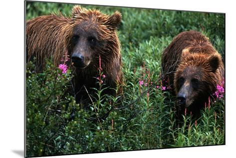 Grizzly Bears, Ursus Arctos-Cagan Sekercioglu-Mounted Photographic Print
