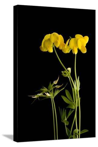 A Birdsfoot Trefoil Plant, Lotus Corniculatus-Joel Sartore-Stretched Canvas Print