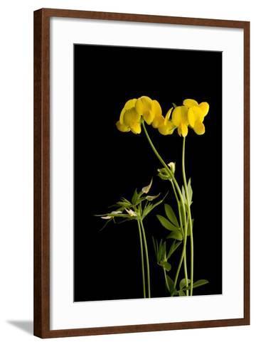 A Birdsfoot Trefoil Plant, Lotus Corniculatus-Joel Sartore-Framed Art Print