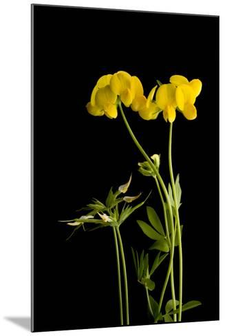 A Birdsfoot Trefoil Plant, Lotus Corniculatus-Joel Sartore-Mounted Photographic Print