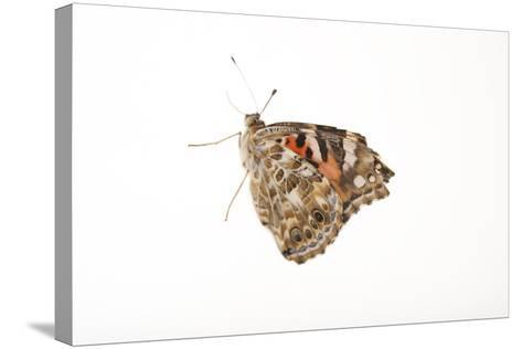 American Painted Lady, Vanessa Cardui, a Native to Nebraska, at the Lincoln Children's Zoo-Joel Sartore-Stretched Canvas Print