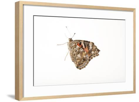 American Painted Lady, Vanessa Cardui, a Native to Nebraska, at the Lincoln Children's Zoo-Joel Sartore-Framed Art Print