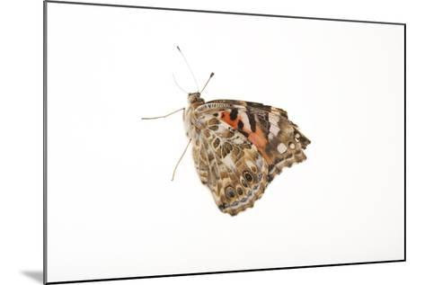 American Painted Lady, Vanessa Cardui, a Native to Nebraska, at the Lincoln Children's Zoo-Joel Sartore-Mounted Photographic Print