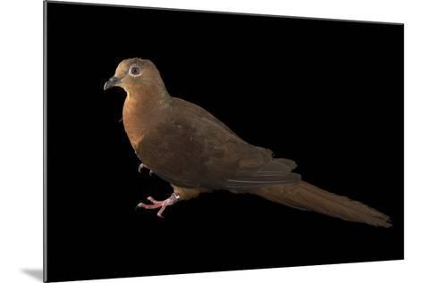 A Brown Cuckoo Dove, Macropygia Amboinensis, at the Wild Life Sydney Zoo-Joel Sartore-Mounted Photographic Print