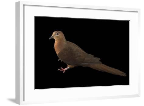 A Brown Cuckoo Dove, Macropygia Amboinensis, at the Wild Life Sydney Zoo-Joel Sartore-Framed Art Print