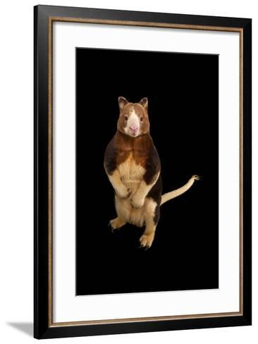 An Endangered Matschie's Tree Kangaroo, Dendrolagus Matschiei, at the Lincoln Children's Zoo-Joel Sartore-Framed Art Print
