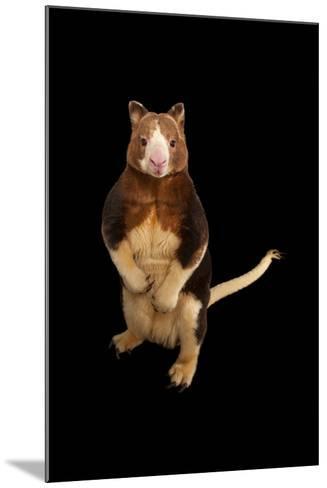 An Endangered Matschie's Tree Kangaroo, Dendrolagus Matschiei, at the Lincoln Children's Zoo-Joel Sartore-Mounted Photographic Print