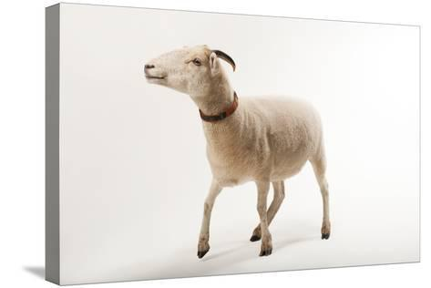 A Gulf Coast Native Sheep, Ovis Aries, at the Audubon Zoo-Joel Sartore-Stretched Canvas Print