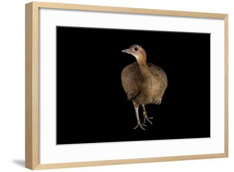 A Great Tinamou, Tinamus Major, at the Dallas World Aquarium-Joel Sartore-Framed Art Print