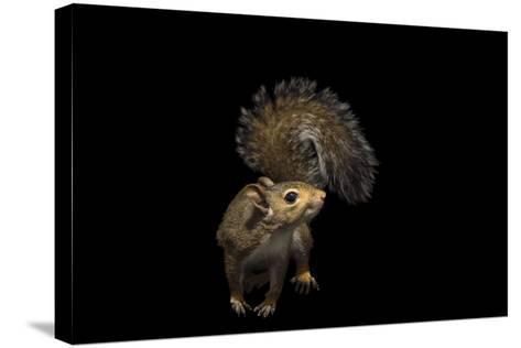 A Studio Portrait of an Eastern Gray Squirrel, Sciurus Carolinensis-Joel Sartore-Stretched Canvas Print