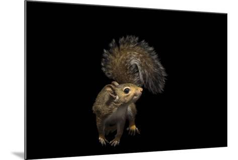 A Studio Portrait of an Eastern Gray Squirrel, Sciurus Carolinensis-Joel Sartore-Mounted Photographic Print