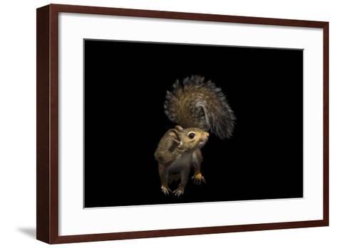 A Studio Portrait of an Eastern Gray Squirrel, Sciurus Carolinensis-Joel Sartore-Framed Art Print