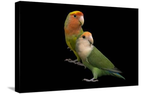 Rosy-Faced Lovebirds, Agapornis Roseicollis, at the Lowry Park Zoo-Joel Sartore-Stretched Canvas Print