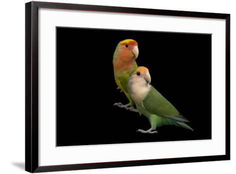 Rosy-Faced Lovebirds, Agapornis Roseicollis, at the Lowry Park Zoo-Joel Sartore-Framed Art Print
