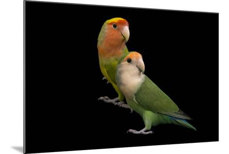 Rosy-Faced Lovebirds, Agapornis Roseicollis, at the Lowry Park Zoo-Joel Sartore-Mounted Photographic Print