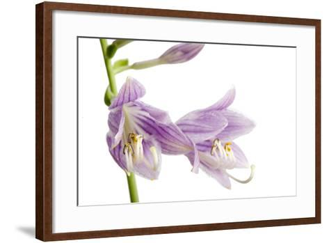 A Studio Shot of Hosta Flowers, Hosta Clausa-Joel Sartore-Framed Art Print