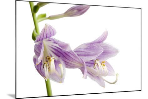 A Studio Shot of Hosta Flowers, Hosta Clausa-Joel Sartore-Mounted Photographic Print