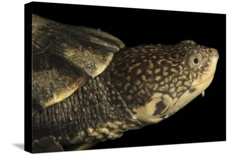 Tuberculated Toad-Headed Turtle, Mesoclemmys Tuberculata-Joel Sartore-Stretched Canvas Print
