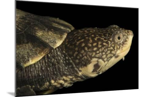 Tuberculated Toad-Headed Turtle, Mesoclemmys Tuberculata-Joel Sartore-Mounted Photographic Print