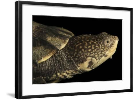 Tuberculated Toad-Headed Turtle, Mesoclemmys Tuberculata-Joel Sartore-Framed Art Print