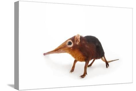A Black and Rufous Elephant Shrew, Rhynchocyon Petersi, at Omaha's Henry Doorly Zoo and Aquarium-Joel Sartore-Stretched Canvas Print