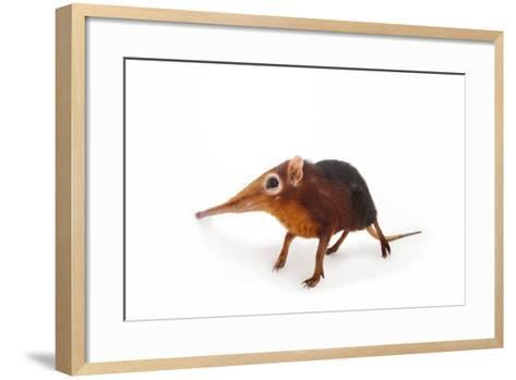 A Black and Rufous Elephant Shrew, Rhynchocyon Petersi, at Omaha's Henry Doorly Zoo and Aquarium-Joel Sartore-Framed Art Print