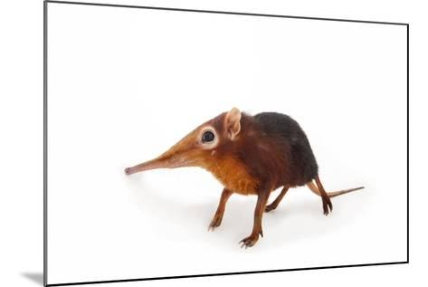 A Black and Rufous Elephant Shrew, Rhynchocyon Petersi, at Omaha's Henry Doorly Zoo and Aquarium-Joel Sartore-Mounted Photographic Print