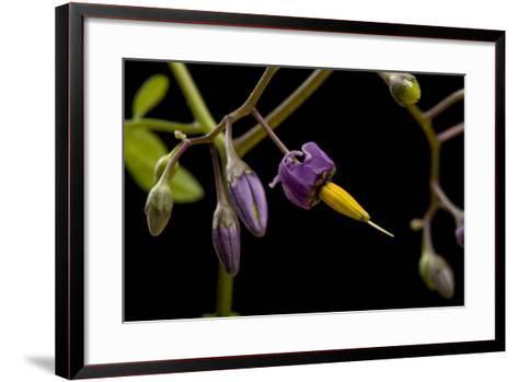 A Bittersweet Nightshade Plant, Solanum Dulcamara-Joel Sartore-Framed Art Print