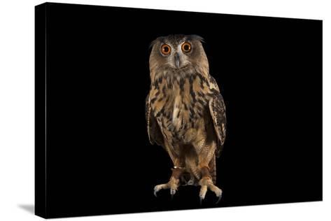 A Eurasian Eagle Owl, Bubo Bubo, at Ocean Park-Joel Sartore-Stretched Canvas Print