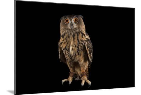 A Eurasian Eagle Owl, Bubo Bubo, at Ocean Park-Joel Sartore-Mounted Photographic Print