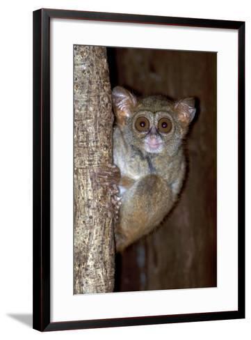 A Spectral Tarsier, Tarsius Tarsier, Clinging to a Tree Trunk-Cagan Sekercioglu-Framed Art Print