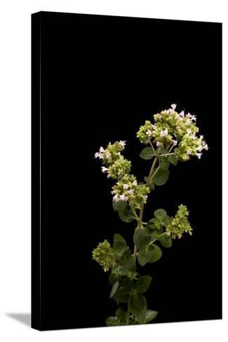 An Oregano Plant, Origanum Vulgare-Joel Sartore-Stretched Canvas Print