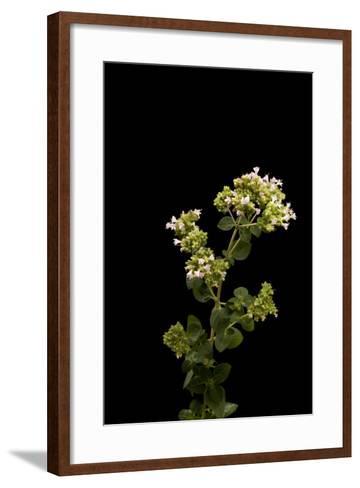 An Oregano Plant, Origanum Vulgare-Joel Sartore-Framed Art Print