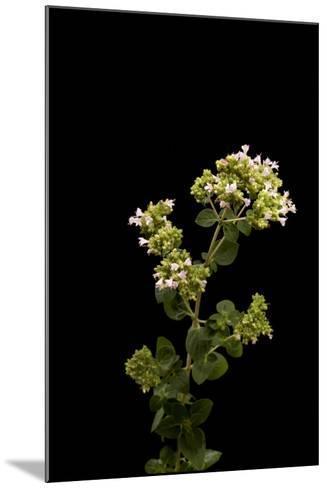 An Oregano Plant, Origanum Vulgare-Joel Sartore-Mounted Photographic Print