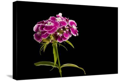 A Sweet William Flower, Dianthus Barbatus-Joel Sartore-Stretched Canvas Print