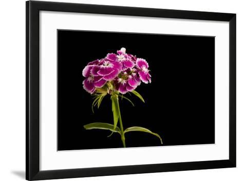 A Sweet William Flower, Dianthus Barbatus-Joel Sartore-Framed Art Print