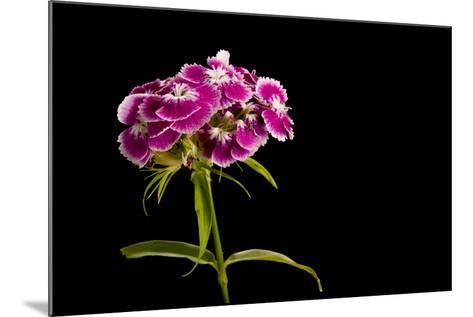 A Sweet William Flower, Dianthus Barbatus-Joel Sartore-Mounted Photographic Print