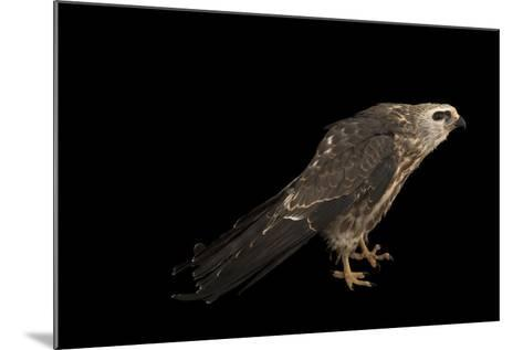 A Mississippi Kite, Ictinia Mississippiensis, at St. Francis Wildlife Association-Joel Sartore-Mounted Photographic Print