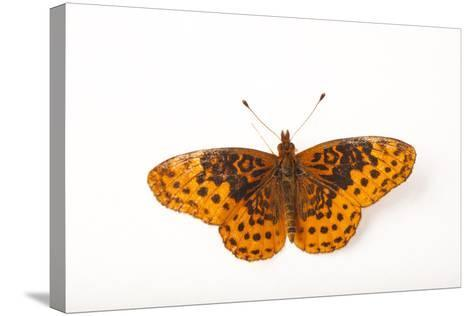 A Meadow Fritillary Butterfly, Boloria Bellona, from Cross Lake, Minnesota-Joel Sartore-Stretched Canvas Print
