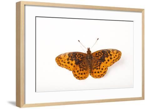 A Meadow Fritillary Butterfly, Boloria Bellona, from Cross Lake, Minnesota-Joel Sartore-Framed Art Print