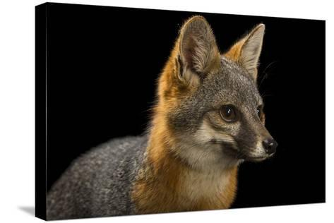A San Clemente Island Fox, Urocyon Littoralis Clemente, at the Santa Barbara Zoo-Joel Sartore-Stretched Canvas Print
