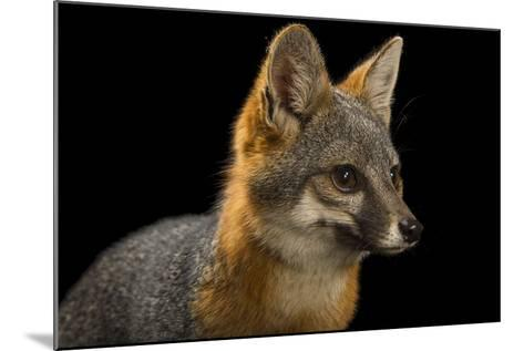 A San Clemente Island Fox, Urocyon Littoralis Clemente, at the Santa Barbara Zoo-Joel Sartore-Mounted Photographic Print