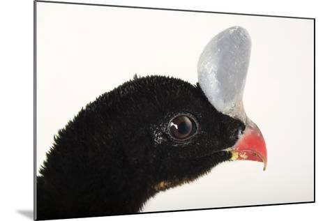 A Northern Helmeted Curassow, Pauxi Pauxi, at the Dallas World Aquarium-Joel Sartore-Mounted Photographic Print